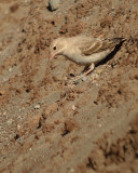 Bleke rotsmus / Pale Rock Sparrow