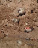 Rode bergvink / Crimson-winged Finch
