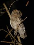 Gestreepte dwergooruil / Pallid Scops Owl