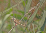 Gestreepte prinia / Graceful Prinia