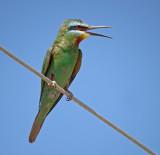 Groene Bijeneter / Blue-cheeked Bee-eater