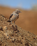 Oostelijk blonde tapuit / Eastern Black-eared Wheatear