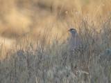 Perzische woestijnpatrijs / See-see Partridge