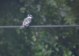Bonte IJsvogel / Pied Kingfisher