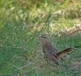 Rosse waaierstaart / Rufous-tailed Scrub Robin