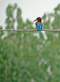 Smyrnaijsvogel / White-throated Kingfisher