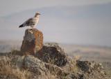 Aasgier / Egyptian Vulture