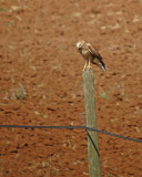 Arendbuizerd / Long-legged Buzzard