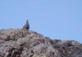 Kaspisch berghoen / Caspian Snowcock
