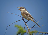 Maskerklauwier / Masked Shrike