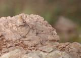 Mongoolse woestijnvink / Mongolian Finch