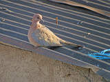Palmtortel / Laughing Dove