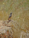Rode rotslijster / Rock Thrush