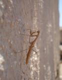 Bidsprinkhaan / Mantis (Mantodea)