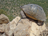 Landschildpad / Tortoise
