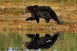 BROWN  BEARS          and wildlife in  FINLAND