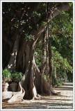 Ficus macrophylla ou  Ficus magnolioide ou Figuier del la Baie de Moreton