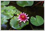 Nenuphar / aquarium  / Nymphaea  marliacea