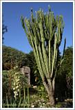 Fleur de Yucca et  Euphorbia candelabrum