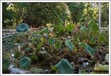 Lotus / Nelumbo nucifera.