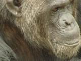 Old Chimp Portrait