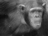 Chimp in Kenya