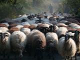 Sheep Flock in Lesvos