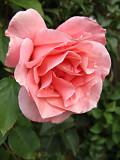 DSCF0811 Pink rose