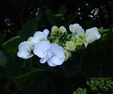 Hydrangea in the shade