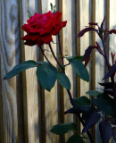 Red,red rose ...