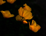 Remembering golden poppies in May