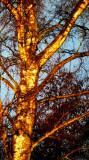 ' golden'  birch