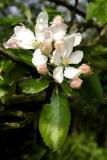 Apple Blossom Impression