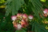 Mimosa ADJ.jpg