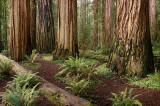 Redwoods ADJ3.jpg