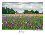 Iris Fields.jpg