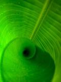Spiraling banana leaf
