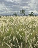 Tall grass at Waikoloa