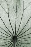 Lotus leaf beneath