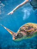 Turtle swimming around snorkelers