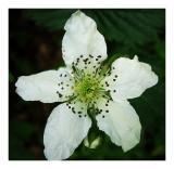 Flower of Five Petals