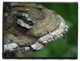 phi fungus