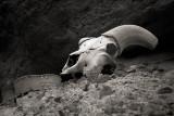 Mountain Sheep Skull