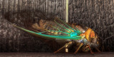 Cicada (HDR)