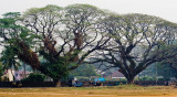 Trees, Kochi