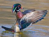 Wood Duck Male Flapping Wings