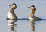 Red-necked Grebes Displaying