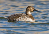 Canvasback Duck  Female