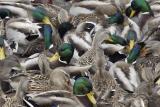 Mallard Feeding Frenzy