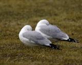 Twin Ring-Billed Gulls Resting